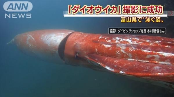 <strong>【影片】日本渔民惊见了一只百年难得一见的「超巨大活乌贼」,它整个游泳</strong>