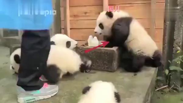 看到奶瓶被收走,小熊猫「超戏剧化」的腿软让网友笑到喷泪:后宫演的都没有牠厉害!
